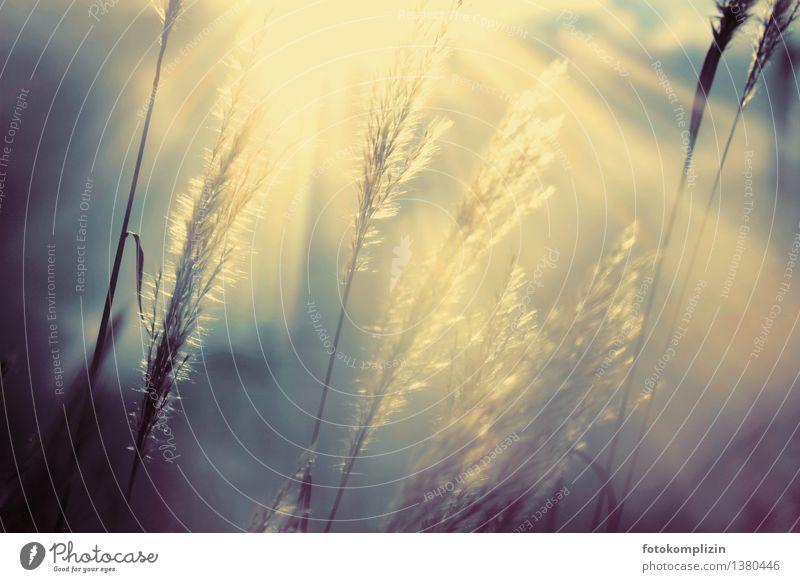 Gras im geheimnisvollen Lichtspiel Gefühle Stimmung Hoffnung Trauer Nostalgie träumen Vergänglichkeit lichtzauber Gegenlicht graswedel leuchten Gedeckte Farben