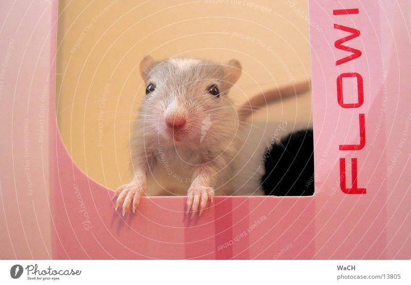 mouse flowi Haus Tier grau rosa Maus Säugetier Haustier Schwanz Schachtel Verpackung Krallen Nachkommen Nagetiere Tierjunges Mausefalle Hausmaus