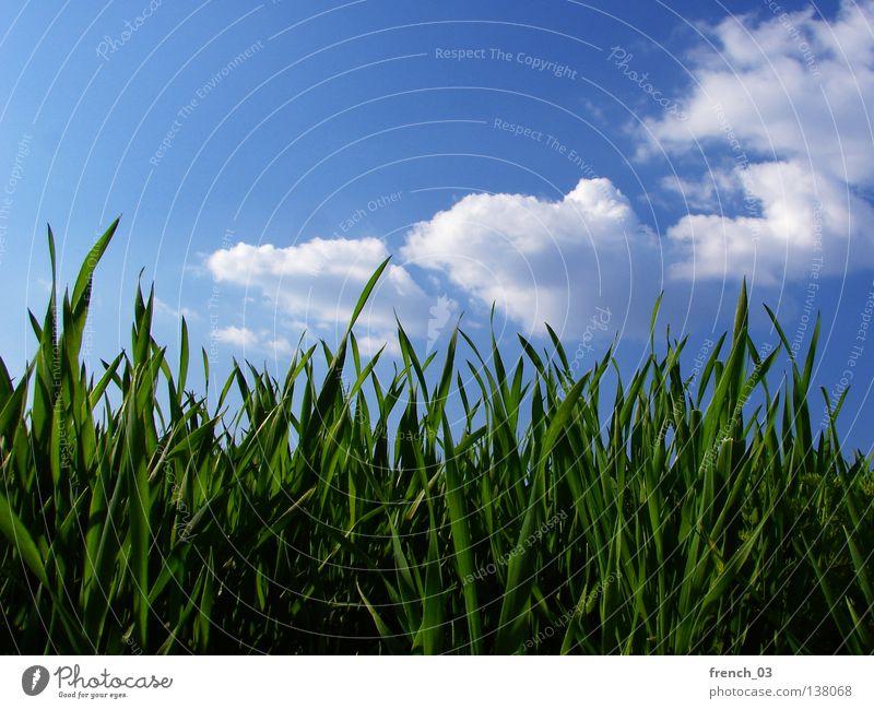 Entspannter Tag Gras Wiese grün saftig Frühling ruhig Erholung Sommer Jahreszeiten Halm Horizont Himmel zyan Wolken Froschperspektive Sachsen-Anhalt Pflanze