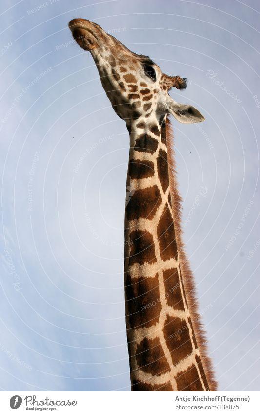 Gleich hab ich´s... Zoo Dortmund Tier lang groß braun schön süß Freizeit & Hobby Afrika scheckig beige Außenaufnahme Säugetier Giraffe wild life Himmel Hals