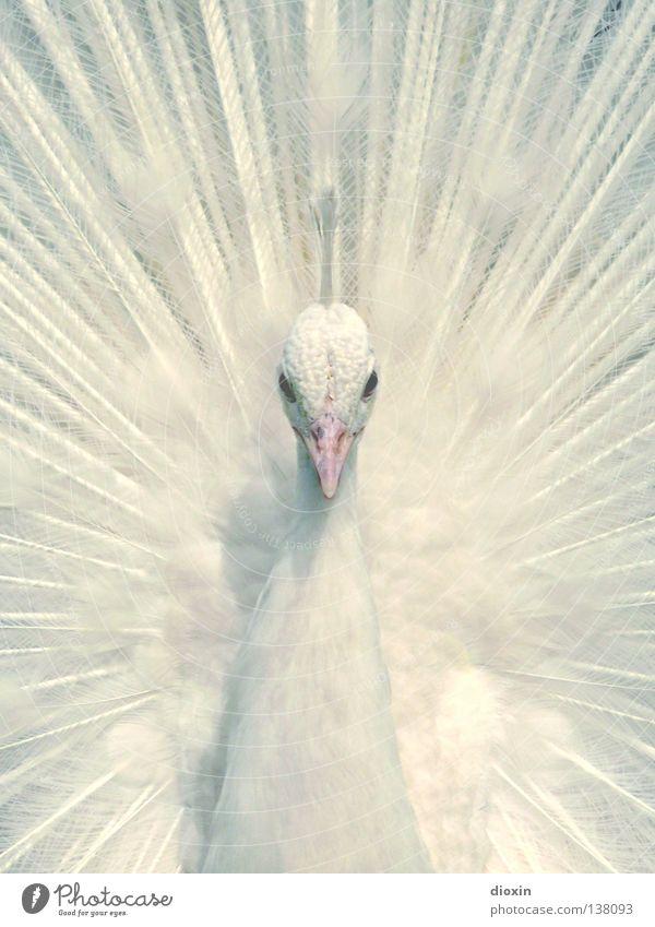 Innocence Natur weiß schön Tier Auge kalt Stil träumen Park Vogel elegant ästhetisch Ecke Feder Körperhaltung außergewöhnlich