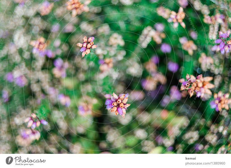Wild & free Umwelt Natur Pflanze Herbst Blume Sträucher Blüte Wildpflanze Blühend Wachstum klein niedlich schön Heidekrautgewächse Bergheide Farbfoto mehrfarbig
