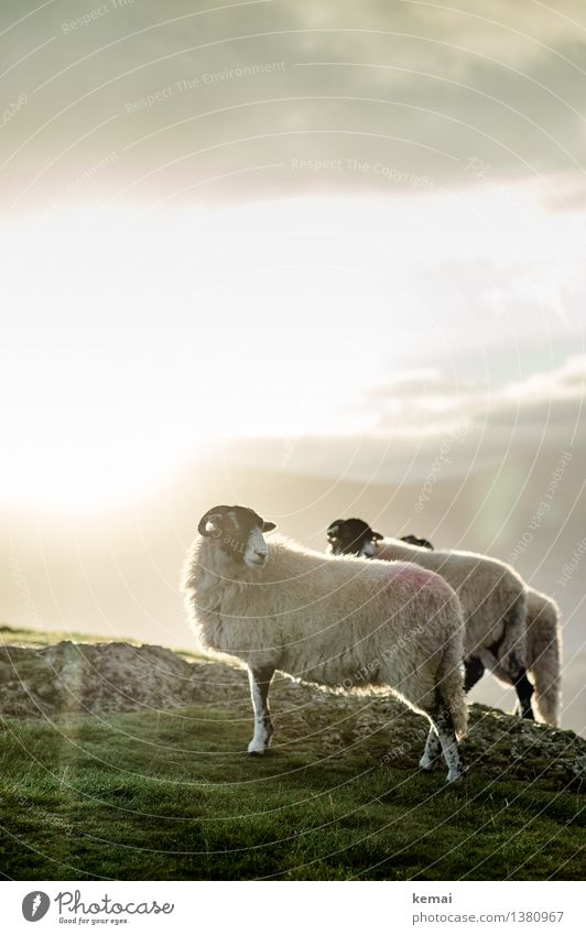 Mr. & Mrs. Sheep & the hidden neighbour Himmel Natur Sonne Landschaft ruhig Wolken Tier Berge u. Gebirge Umwelt Herbst Wiese Freiheit hell Wetter Feld stehen