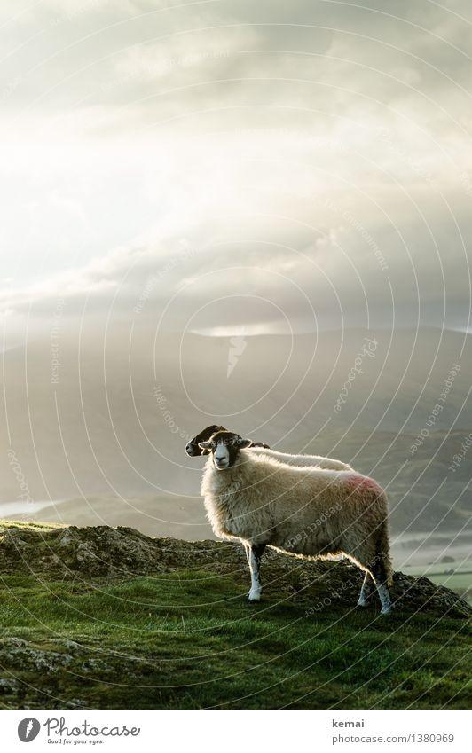 Mr. & Mrs. Sheep Himmel Natur grün Sonne Landschaft ruhig Wolken Tier dunkel Berge u. Gebirge Umwelt Herbst Wiese Stimmung Zusammensein Felsen