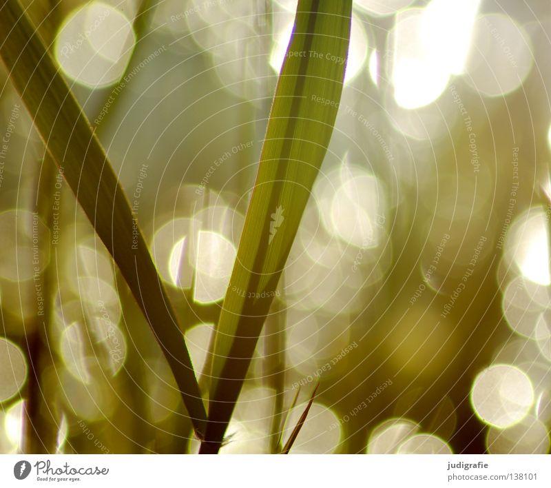 Gras Schilfrohr Gegenlicht Abendsonne glänzend Umwelt Pflanze schön zart träumen Farbe Sommer Sonne Lampe Natur Punkt reflektion Küste