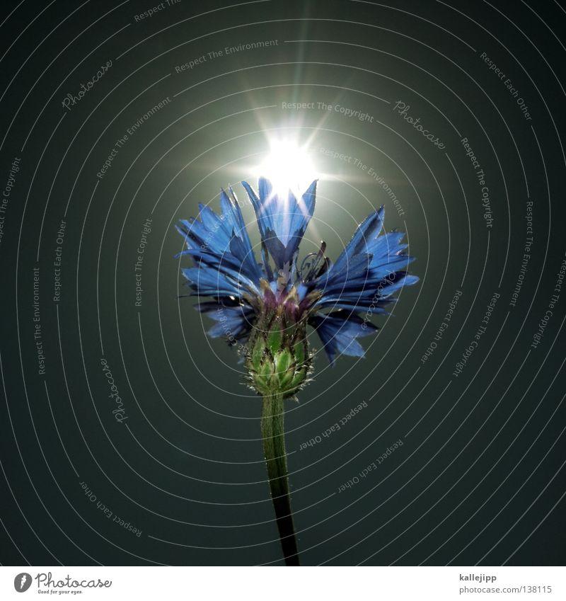 sonnenblume Natur Sonne grün blau Pflanze Sommer Wiese Blüte Gras Beleuchtung Feld Rasen Kultur Insekt Getreide Stengel