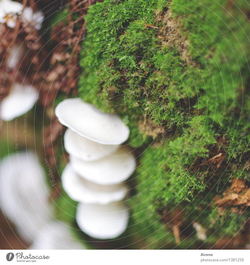 Schimmel-Pilz Natur Pflanze Stockschwämmchen Moos Wald Feuchtgebiete Auwald Urwald Lamelle Wachstum schleimig grün weiß Albino Farbfoto Außenaufnahme