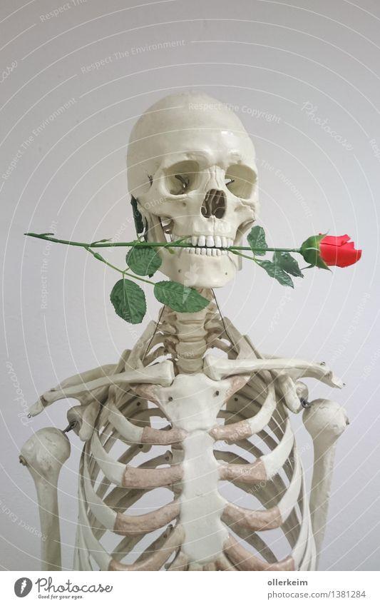 Skelett - Rosenkavalier Körper Kopf Pflanze grau rosa weiß Liebe Liebesaffäre Kavalier Mund Liebeserklärung Liebesbekundung Liebesgruß Farbfoto Innenaufnahme