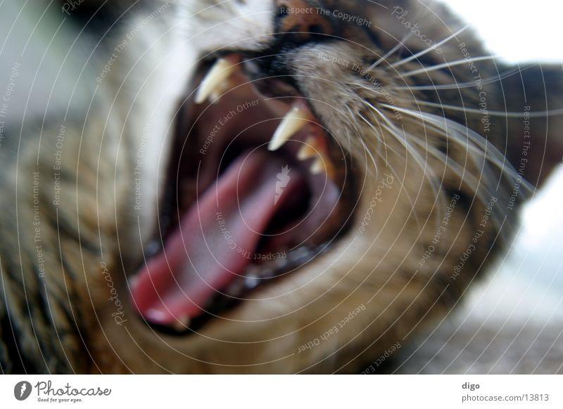 hunde-müde Katze gähnen Gebiss Makroaufnahme Nahaufnahme Müdigkeit Unschärfe Tier Haustier fletschen