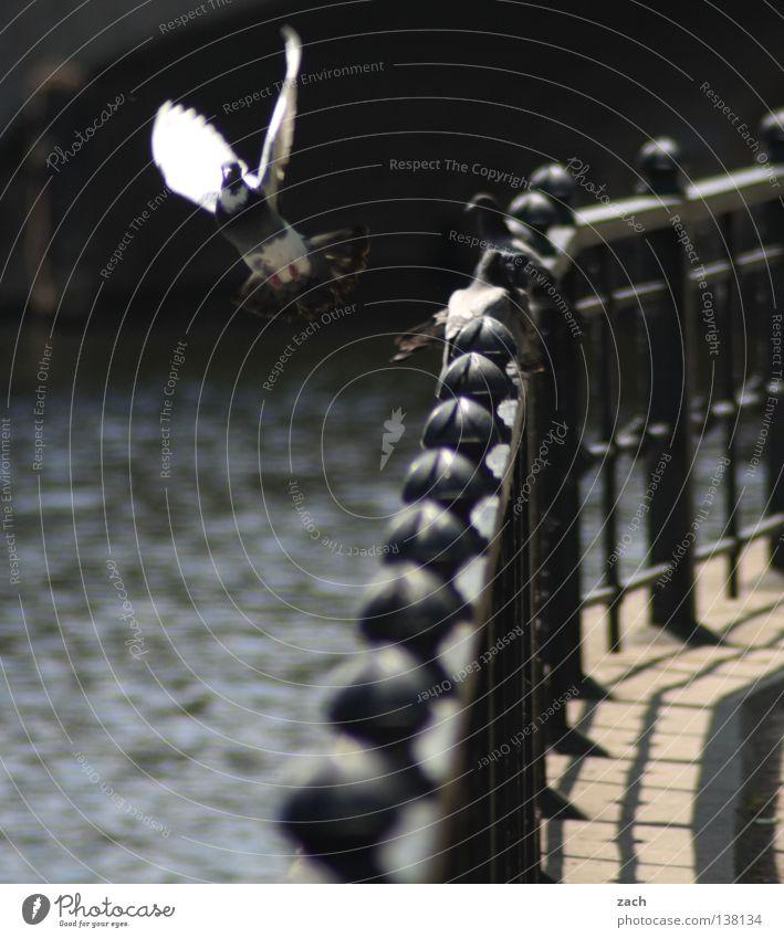 Tauben bestätigen SIE immer! Wasser Tier grau Vogel dreckig Beginn Luftverkehr Feder Frieden Taube Schnabel flattern Federvieh Spree Daunen mausern