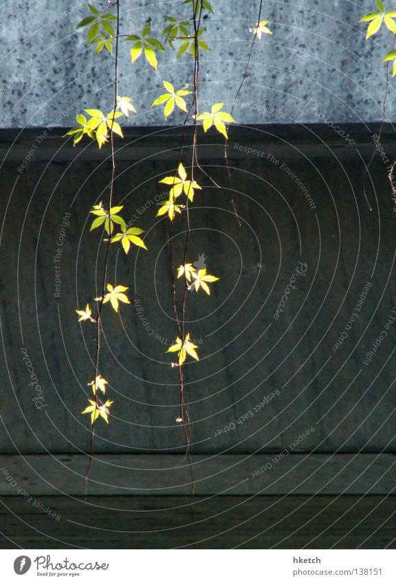 Tarzans Lianen Beton Urwald Blatt Gegenlicht grün verfallen Brücke Frühling Natur