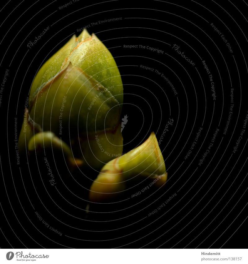 Wintergarten Fliederbusch Sommerflieder Frühling zart grün braun schwarz Hoffnung Beleuchtung dramatisch Morgen Physik aufwachen neu Keim Wachstum sprießen