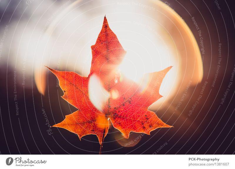 Herbstblatt im Licht Umwelt Natur Pflanze Sonne Sonnenlicht Schönes Wetter Blatt leuchten gelb gold orange rot Hoffnung Horizont Idylle Herbstlaub Blattadern