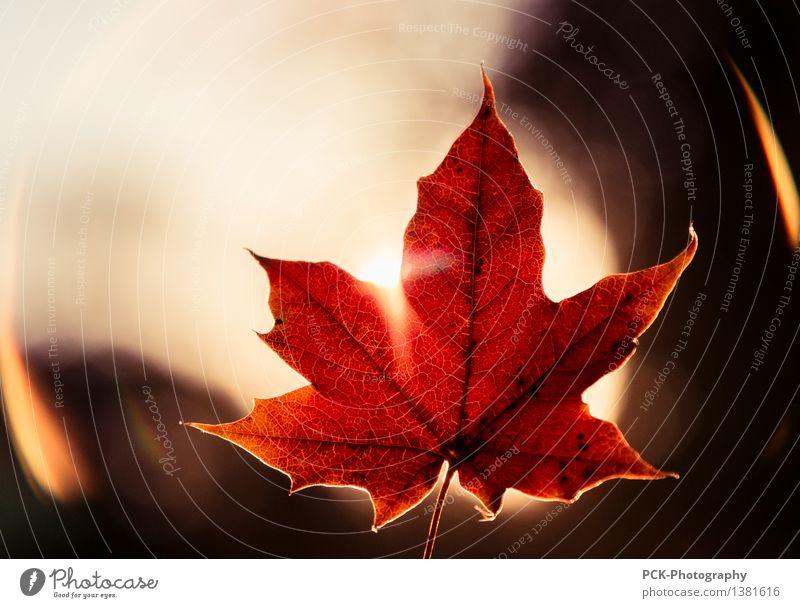 Rotes Blatt Pflanze Sonne Sonnenlicht Herbst Gefühle Stimmung Blattadern Herbstblatt Goldene Stunde Flare rot orange Ahornblatt Farbfoto Außenaufnahme Dämmerung