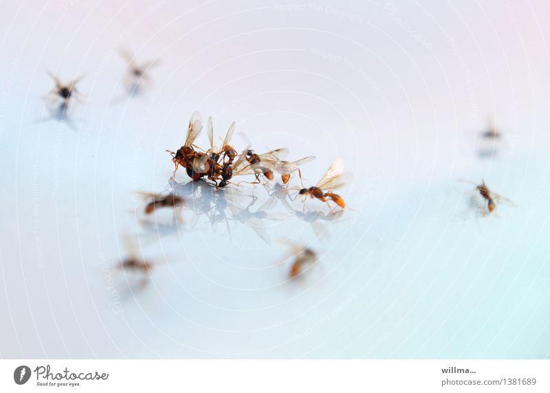 kann gefälligst mal einer... stark Insekt Gewalt Aggression Schwäche Ameise Fortpflanzung Hautflügler