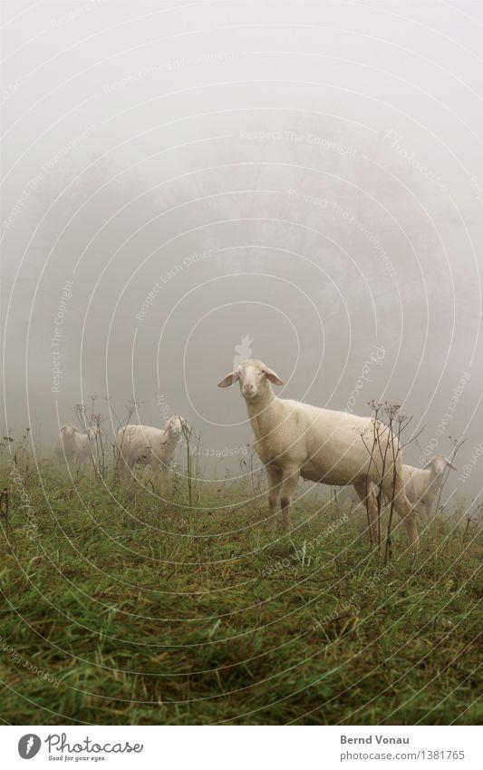 kalt | frisch geschoren Nutztier Schaf Tiergruppe Gefühle Stimmung Nebel Blick Ohr Gras Herbst Neugier stehen Wolle nackt grün grau Wetter schlechtes Wetter