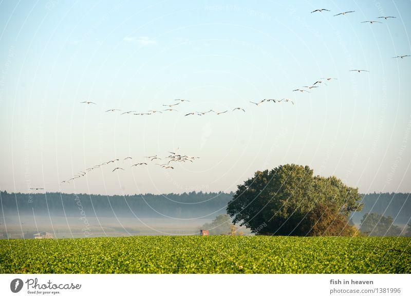 Kraniche über Herbstacker Natur Landschaft Himmel Nebel Feld Tier Wildtier Vogel Tiergruppe Schwarm fliegen Kraniche am Himmel Zugvogel Acker Farbfoto