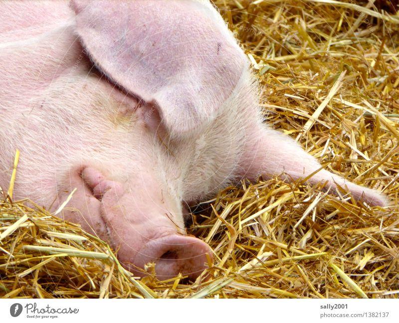Ein entspanntes und glückliches 2016!!! Tier Nutztier Schwein Erholung genießen liegen schlafen träumen Gesundheit rosa Glück Pause ruhig Schweinschnauze Stall