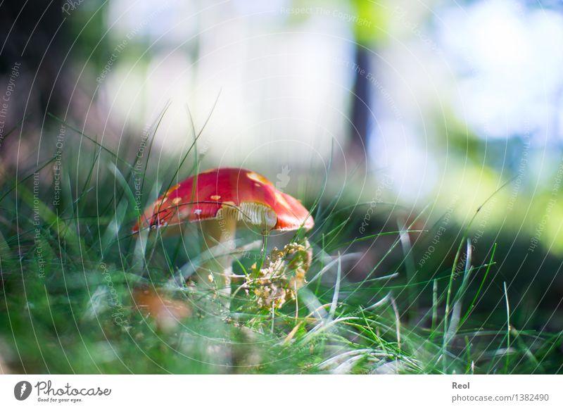 Fliegenpilz II Natur Pflanze grün rot Wald Umwelt Herbst Wiese Gras hell wild Wachstum Erde bedrohlich Boden Pilz
