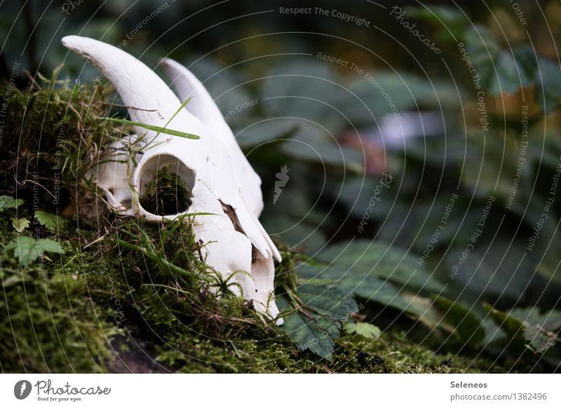 alte Ziege Natur Blatt Tier Wald Umwelt Tod Garten Park gruselig Moos Nutztier Tierschädel Ziegen Ziegenbock