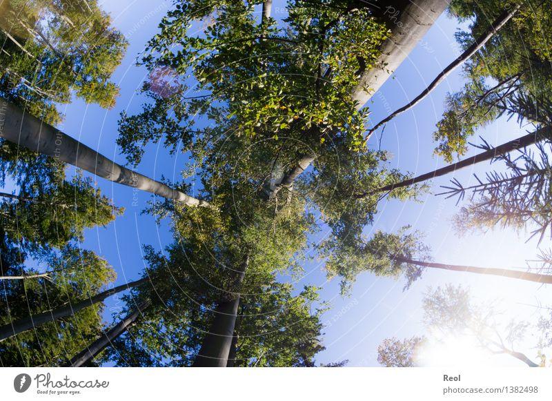 Dem Himmel entgegen Umwelt Natur Landschaft Sonne Sommer Schönes Wetter Pflanze Baum Grünpflanze Wildpflanze Buche Baumstamm Blatt Blätterdach Zweige u. Äste