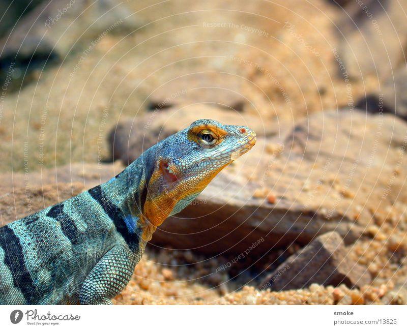 gaudy dragon Zoo Drache Echsen