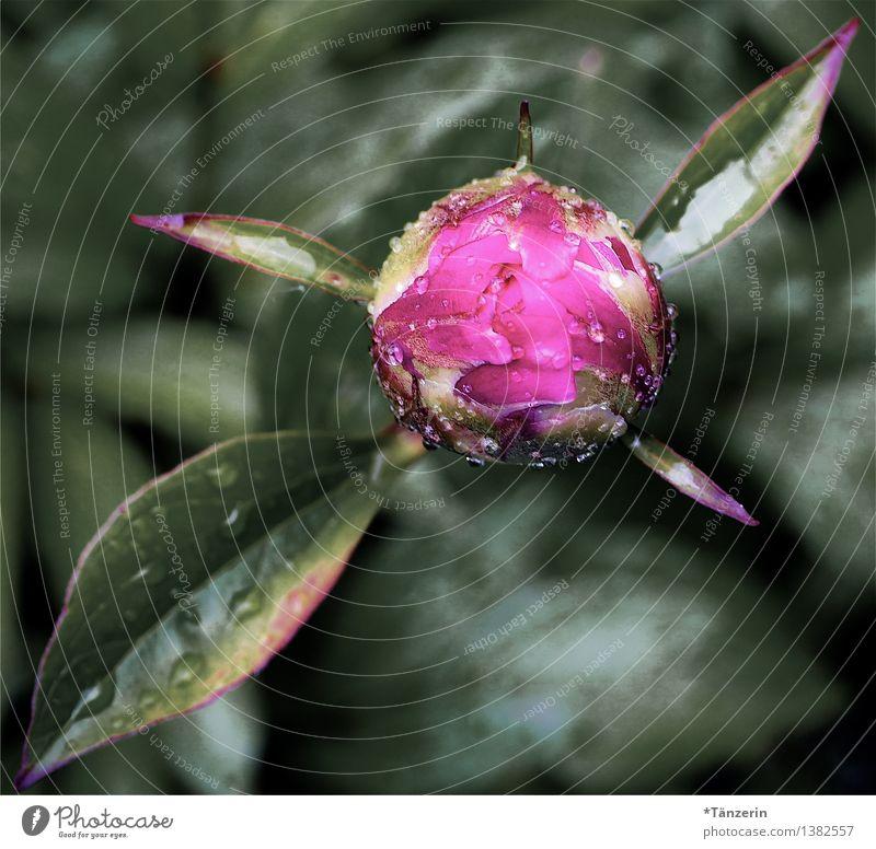 frisch geduscht Natur Pflanze Wassertropfen Frühling schlechtes Wetter Regen Blüte Pfingstrose Blütenknospen Garten ästhetisch schön grün rosa Farbfoto