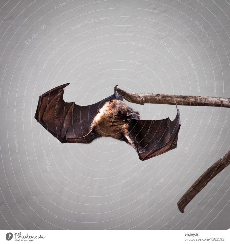 lass den Kopf nicht hängen Tier Wildtier Flügel Fledermäuse Flughunde 1 außergewöhnlich bedrohlich exotisch fantastisch braun Schutz Umweltschutz kopfvoran