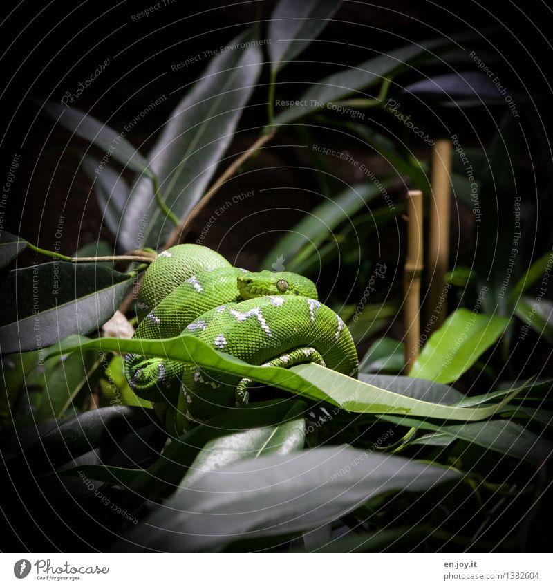 verführerisch Natur Pflanze Grünpflanze Bambus Tier Wildtier Schlange Reptil 1 beobachten hängen schlafen dunkel exotisch grün Tierliebe gefährlich Respekt Ekel