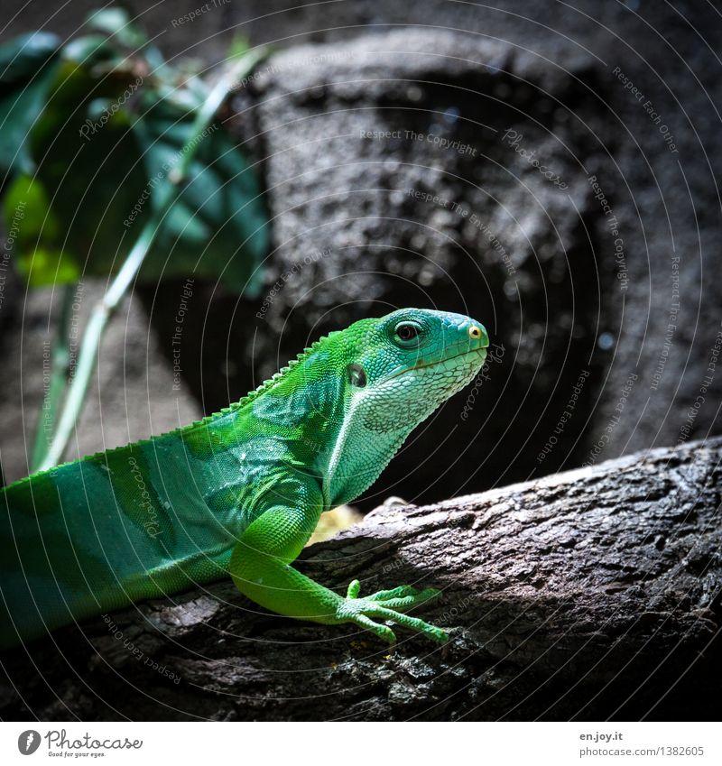 kleiner Drache Tier Haustier Wildtier Leguane Reptil Echsen 1 beobachten exotisch grün Tierliebe Natur Überleben Umwelt Umweltschutz Schuppen schön Farbfoto