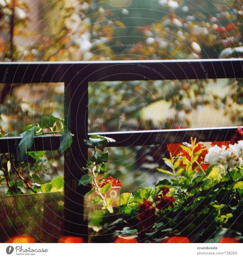 Balkon-Botanik weiß Blume grün Pflanze rot Blatt Blüte Blühend Geländer Terrasse Ranke Balkonpflanze