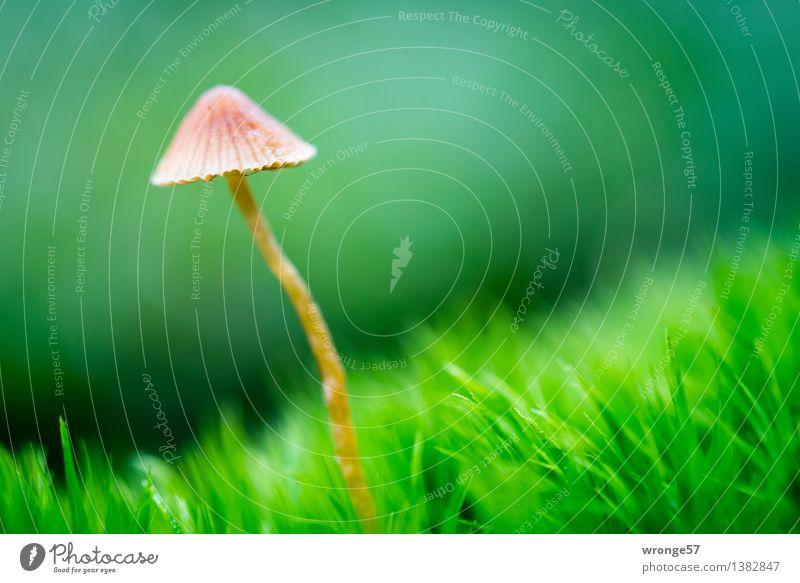 Solist II Umwelt Natur Herbst Schönes Wetter Moos Wald klein natürlich braun grün Pilz winzig Waldboden Moosteppich Makroaufnahme Berghang einzeln Farbfoto