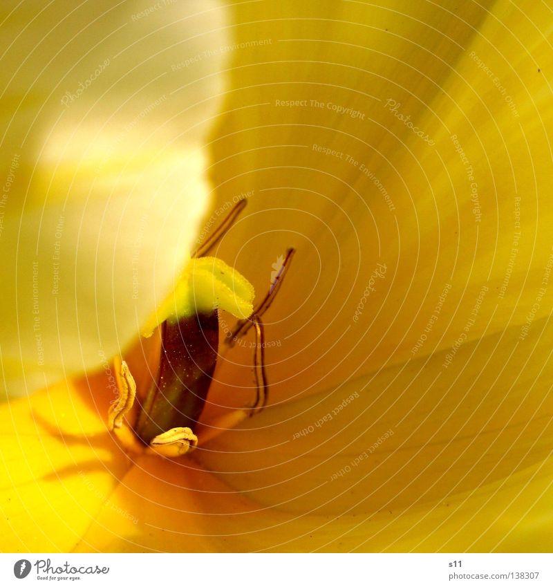 Yellow Beauty Tulpe Frühlingsblume Blume Blüte Jahreszeiten gelb Blütenblatt verdeckt Pflanze Makroaufnahme Nahaufnahme schön Tulipa Flower Frühlingsgruss