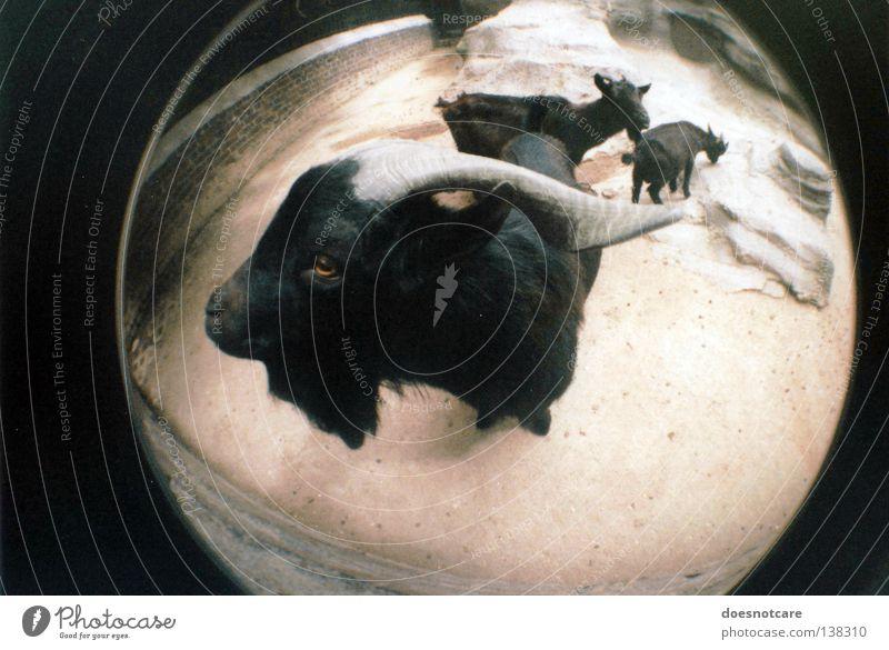 billy, the goat. Tier schwarz Teufel Ziegen Geißbock Ziegenbock Horn böse Säugetier Lomografie Weitwinkel Fischauge Nutztier Blick in die Kamera