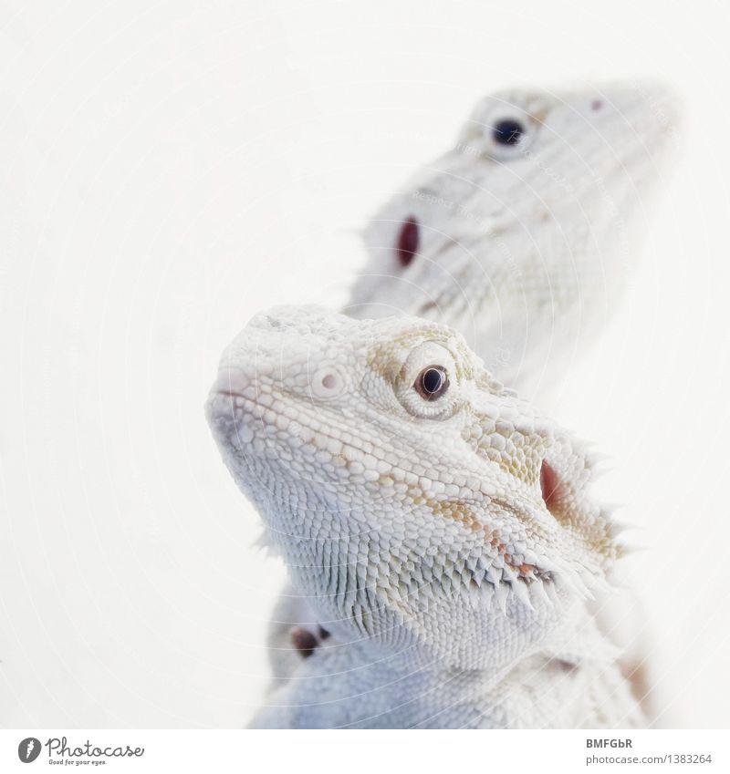 Weiße Drachen weiß Tier kalt lustig außergewöhnlich hell elegant Tierpaar fantastisch Klima beobachten Coolness Neugier rein Konzentration exotisch