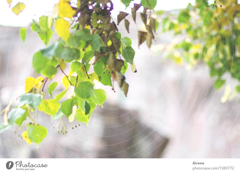 lindert Heilpflanzen Heißgetränk Tee Lindenblütentee Kräutertee Sonnenlicht Sommer Herbst Pflanze Baum Blatt Lindenblatt Blühend Wachstum Duft Gesundheit hell