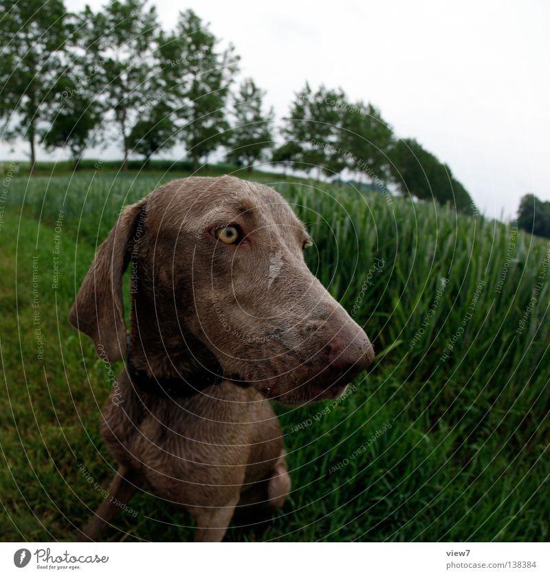 Fischhund Auge Hund Feld nass frei Fell feucht Wachsamkeit Säugetier Haustier Neigung achtsam Verzerrung Jagdhund Weimaraner Haushund