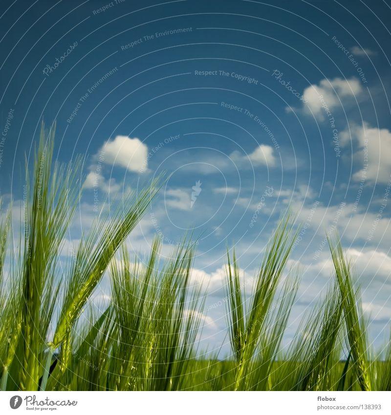 Mildes Lüftchen Gerstenähre Gerstenfeld himmelblau grün Wolkenfeld Wolkenhimmel Schönes Wetter Sommer Textfreiraum oben Ackerbau Natur ökologisch