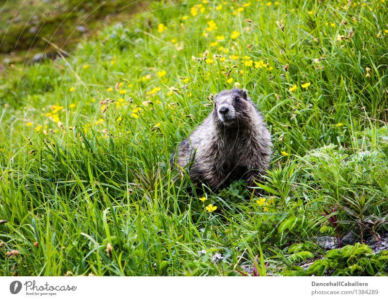 ... Ich komm ja schon! Landschaft Frühling Sommer Blume Gras Blüte Wiese Feld Alpen Berge u. Gebirge Tier Wildtier Fell Zoo Murmeltier Nagetiere Säugetier 1