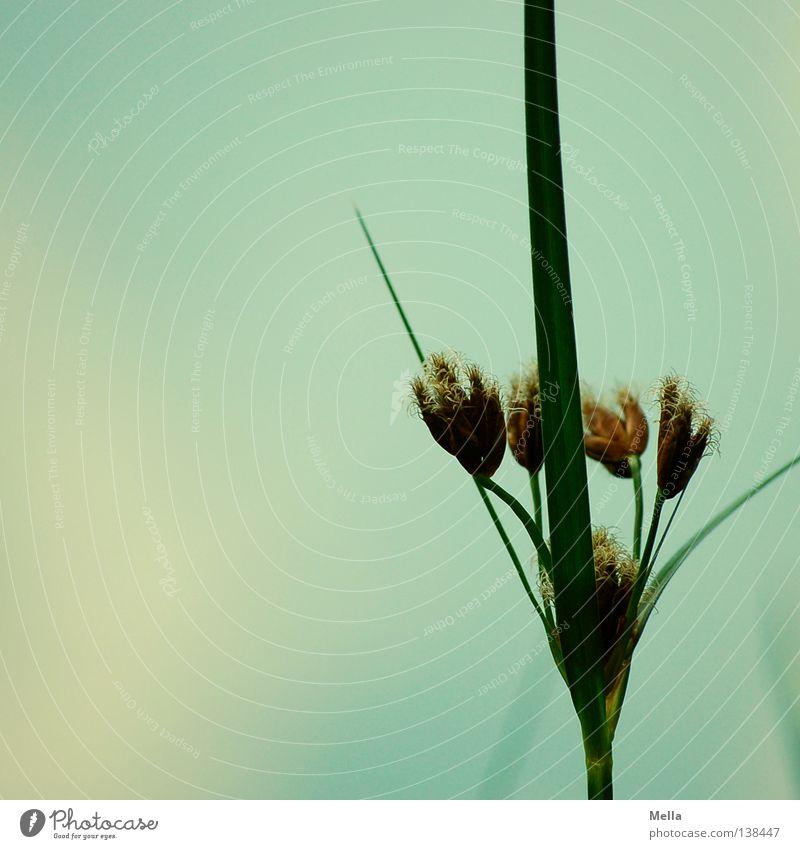 Wasserlilie weiß grün Stengel Ecke Samen Wasserpflanze Sommer See Teich Sumpfschwertlilie verblüht getrocknet blau hoch Linie scharfkantig Küste Himmel