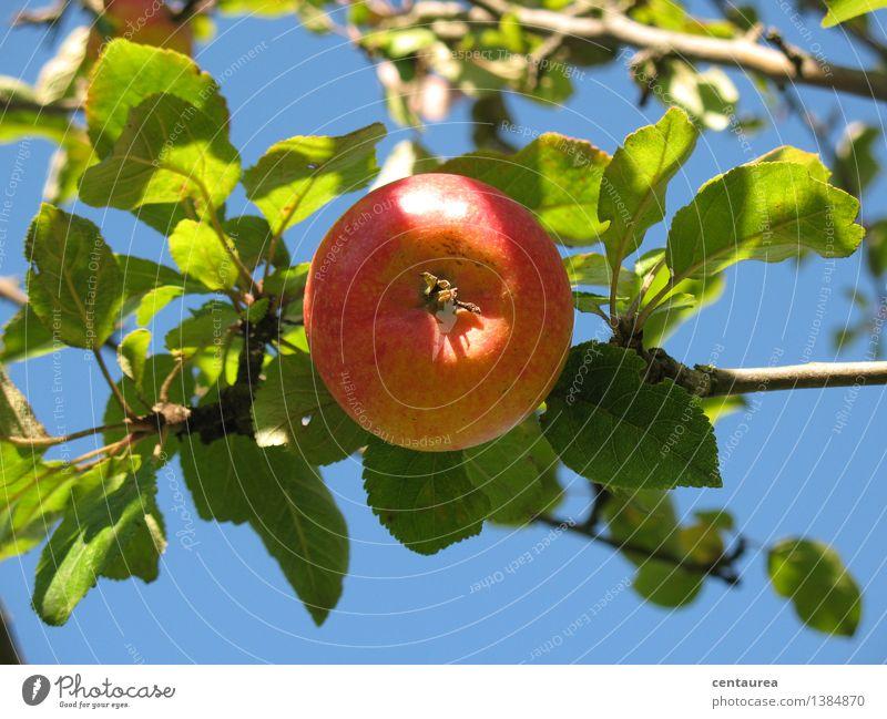 Apfel Lebensmittel Frucht Ernährung Bioprodukte Vegetarische Ernährung Gesundheit Umwelt Natur Himmel Wolkenloser Himmel Sonne Herbst Schönes Wetter Baum Garten