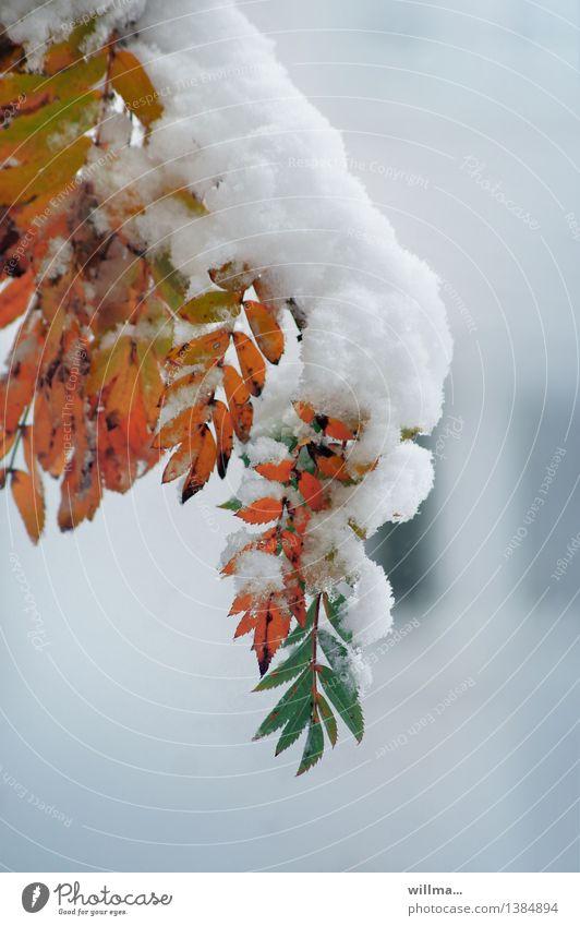 rendezvous der jahreszeiten grün weiß Winter Herbst Schnee orange Zweig Herbstlaub Klimawandel Herbstfärbung Vogelbeerbaum