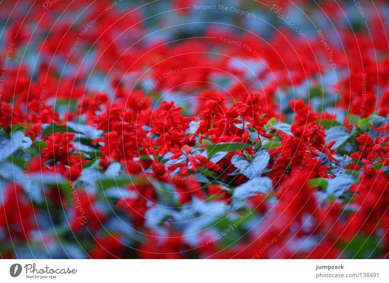 (Un)scharfe Blumen blau rot Farbe Frühling Muster Blumenbeet