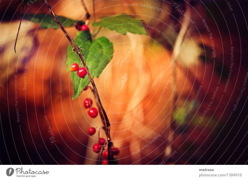 Herbstfrüchtchen elegant Stil Natur Schönes Wetter Pflanze Sträucher Efeu Wildpflanze Zweige u. Äste Beerensträucher Blätter Wald Herbstleuchten Lichteinfall