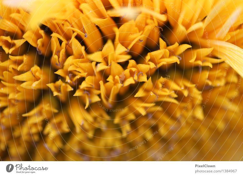 Sonnenblume Natur Pflanze schön Erholung Blume gelb Leben Blüte Gefühle Garten träumen Zufriedenheit Feld elegant ästhetisch Blühend