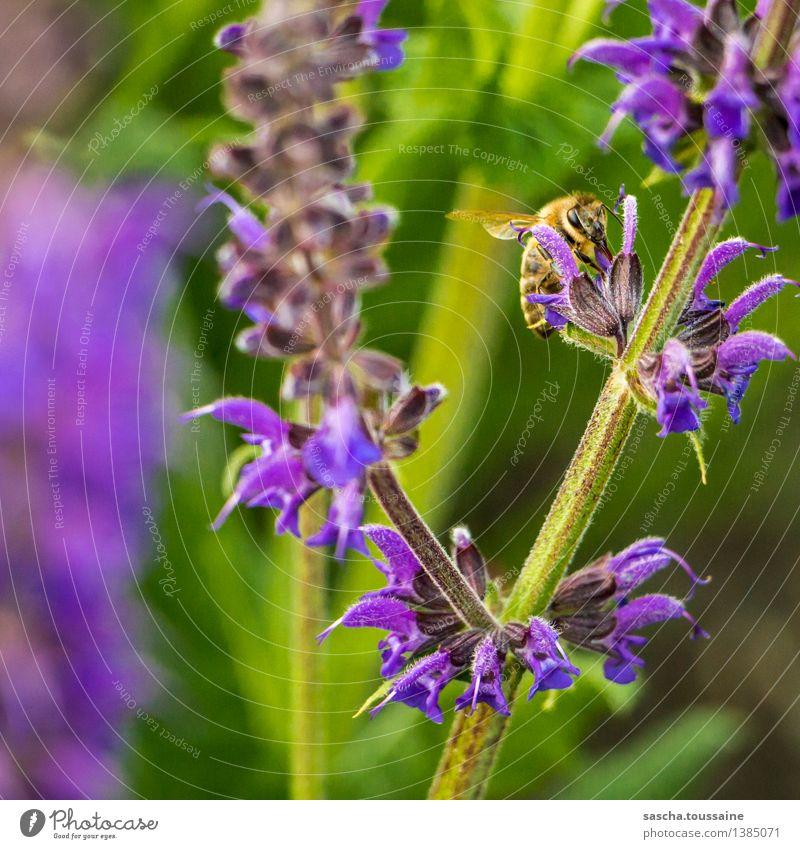 Ich bin eine Biene Natur Pflanze grün Sommer Blume Tier schwarz gelb Blüte Frühling Garten fliegen Arbeit & Erwerbstätigkeit wild elegant sitzen