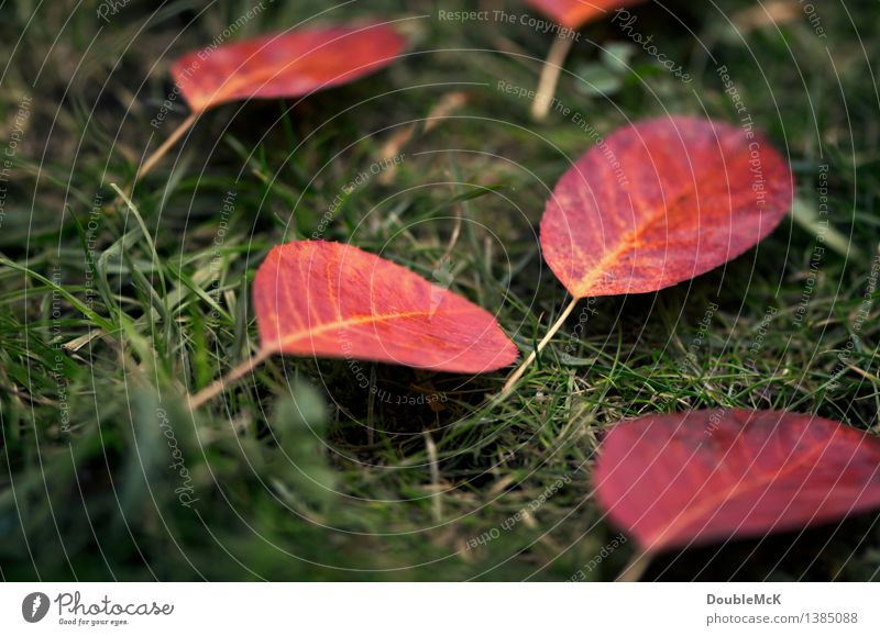 Rote Herbstblätter auf grünem Rasen Umwelt Natur Pflanze schlechtes Wetter Regen Gras Blatt Wiese liegen authentisch einfach einzigartig natürlich gelb rot