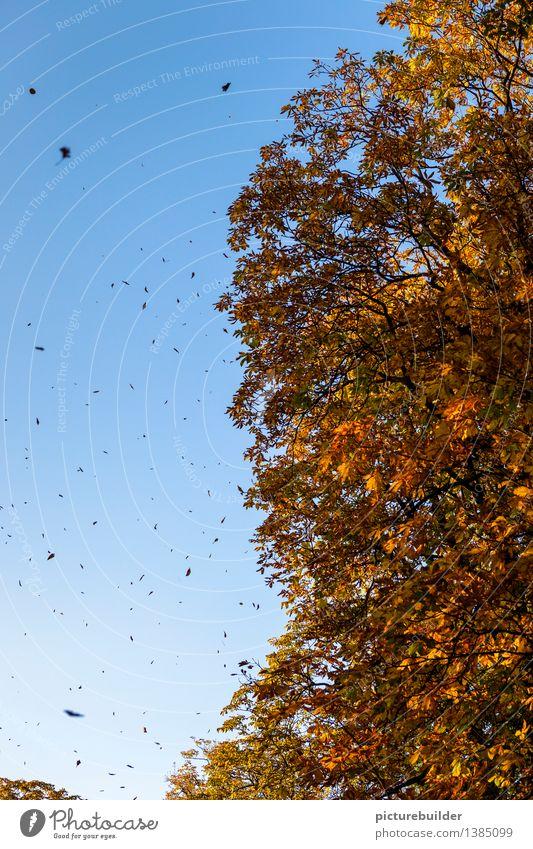 Der Herbstwind Natur Himmel Wolkenloser Himmel Schönes Wetter Wind Baum Blatt Wald alt blau gold orange schwarz Senior Vergänglichkeit Wandel & Veränderung welk