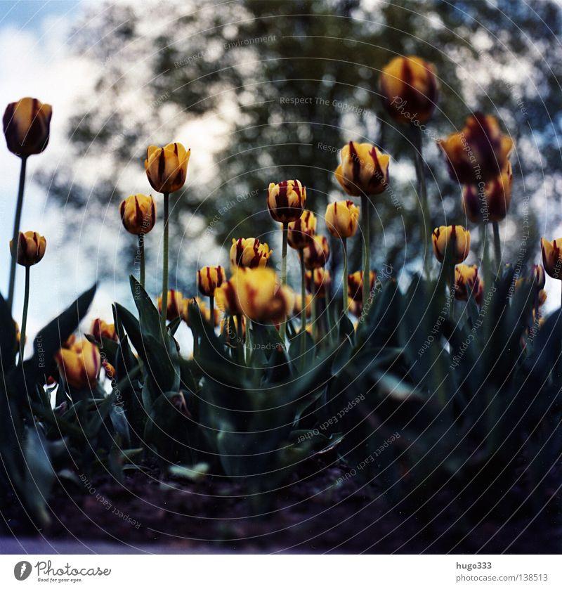 Tulipa gegen Tulpe Tulpenfeld rot rosa erleuchten Blume himmelblau Feld Halm Leben Agra Landwirtschaft Vielfältig Gemälde stechend Wolken Erholung baumeln ruhig