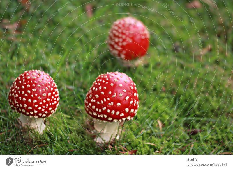 drei kleine Rotkäppchen Fliegenpilze Pilze giftige Pilze Herbstwiese Wiese Waldwiese Pilzhut Amanita muscaria herbstlich rot und gepunktet heimisch Herbstbeginn